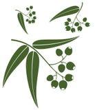 Eucalyptus Royalty Free Stock Image