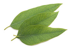 eucalyptus isolerade leaves Royaltyfria Foton