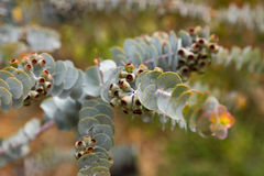 Eucalyptus kruseana branch outdoors Stock Photography