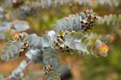 Eucalyptus kruseana branch outdoors Royalty Free Stock Images