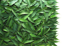 Eucalyptus leaf. Background made by eucalyptus leafs Royalty Free Stock Images