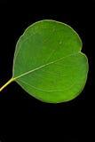 Eucalyptus leaf Stock Photography