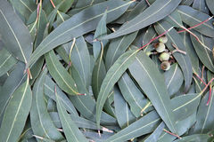 Eucalyptus Leaf Background. Eucalyptus leaves and gum nuts form a full-frame background stock photo