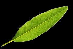 Eucalyptus leaf Royalty Free Stock Images