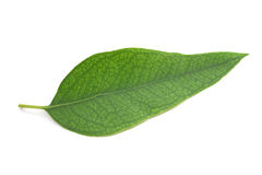 Eucalyptus leaf Stock Images