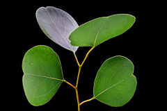 Eucalyptus leafs on black background Stock Images