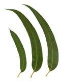 Eucalyptus Leaves Stock Photography