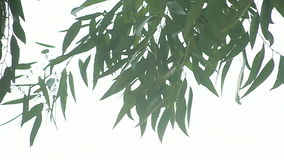Eucalyptus leaves background Royalty Free Stock Photography