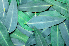 Eucalyptus leaves background. Green Nature Eucalyptus leaves background Royalty Free Stock Photos