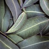 Eucalyptus Leaves Background Top View. Eucalyptus leaves background, top view Royalty Free Stock Photos
