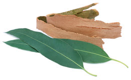 Eucalyptus leaves with barks Royalty Free Stock Images