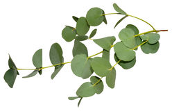 Eucalyptus Leaves. Branch of aromatic eucalyptus leaves, isolated on a white background Royalty Free Stock Images
