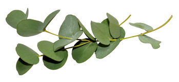 Eucalyptus Leaves. Branch of aromatic eucalyptus leaves, isolated on a white background Royalty Free Stock Photos