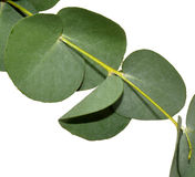 Eucalyptus Leaves. Branch of aromatic eucalyptus leaves, isolated on a white background Stock Photo
