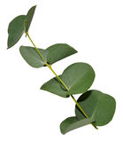Eucalyptus Leaves. Branch of aromatic eucalyptus leaves, isolated on a white background Royalty Free Stock Photography