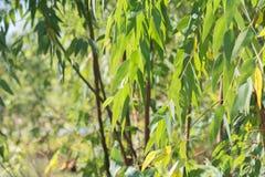 Eucalyptus leaves. branch eucalyptus tree nature background stock images