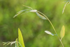 Eucalyptus leaves. Green Royalty Free Stock Images