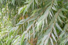 Eucalyptus leaves. Green nature Royalty Free Stock Images