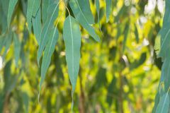 Eucalyptus leaves. Green nature Stock Image