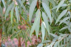Eucalyptus leaves. Green nature Stock Photo