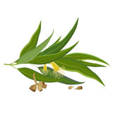 Eucalyptus leaves, flowers and seeds outline Stock Photos