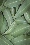 Eucalyptus Leaves Full Frame Background Top View Stock Images