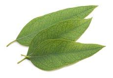 Eucalyptus leaves isolated Royalty Free Stock Photos