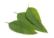 Eucalyptus leaves isolated royalty free stock photography