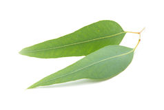 Eucalyptus leaves isolated on white background Royalty Free Stock Photography