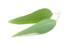 Eucalyptus leaves isolated on white background Royalty Free Stock Photography