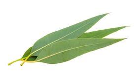 Fresh eucalyptus leaves Stock Photos