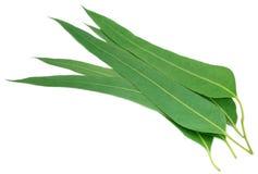Eucalyptus leaves Royalty Free Stock Photo