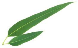 Eucalyptus leaves Stock Photos