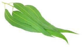 Eucalyptus leaves Royalty Free Stock Photography