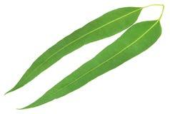 Eucalyptus leaves Stock Image
