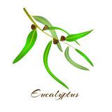 Eucalyptus leaves and seeds. Eucalyptus tree leaves and seeds. Vector illustration Stock Images
