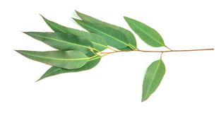Close up Eucalyptus leaves on white background. The Eucalyptus leaves on white background Royalty Free Stock Photography