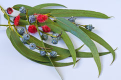 Eucalyptus leaves. Stock Images