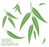 Eucalyptus.  leaves on white background Stock Photography