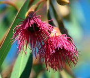 Eucalyptus Leucoxylon Stock Afbeeldingen