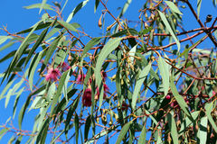 Eucalyptus Leucoxylon Royalty Free Stock Images