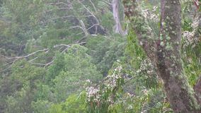 The Eucalyptus: lichen covered branches and flower laden branch and distant branches. This region of Australia, sustains an indigenous ecology named `dry stock footage