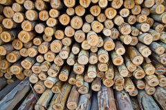 Eucalyptus log Royalty Free Stock Images