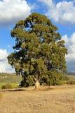 Eucalyptus Stock Image