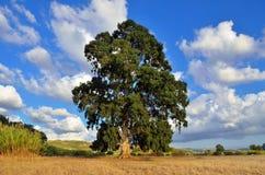 Eucalyptus Stock Images