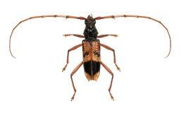 Eucalyptus long-horned beetle Stock Photography