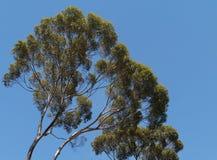 Eucalyptus opposite a blue sky Royalty Free Stock Photos