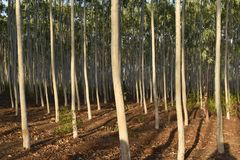 GREEN EUCALYPTUS PLANT IN THE FOREST. ZIGZAG VIEW OF GREEN EUCALYPTUS PLANT FARM stock image