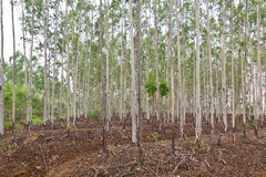 Eucalyptus Plantation Royalty Free Stock Images