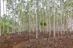 Eucalyptus Plantation Royalty Free Stock Images